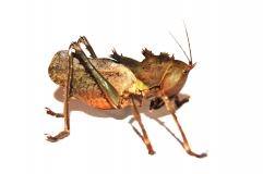 Eumegalodon spec.