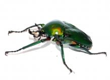 Dicronorhina derbyana oberthuri
