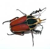 Mecynorrhina torquata ugandensis FARBMORPHE