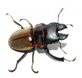 Odontolabis sommeri