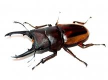 Prosopocoilus lateralis lorquini