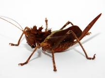 Eumegalodon spec. - Weibchen